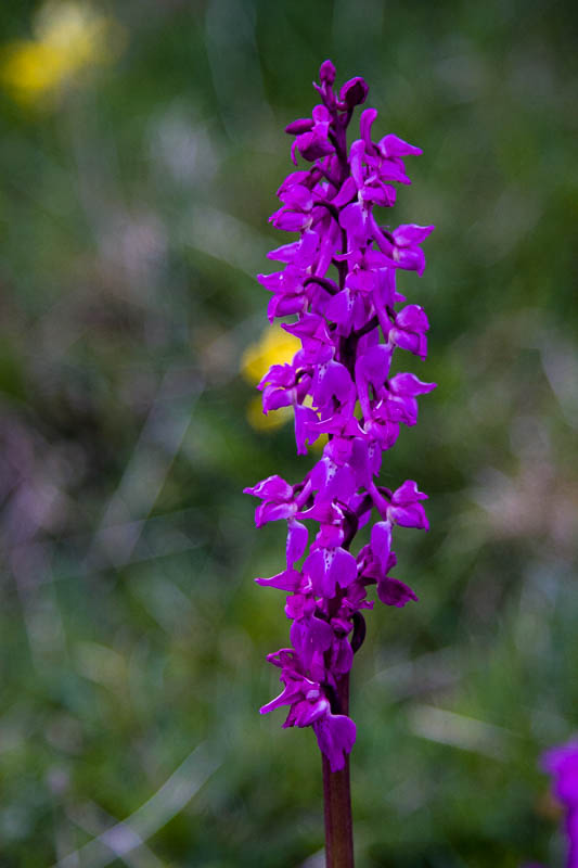 Early Purple Orchid Dorsetcamera