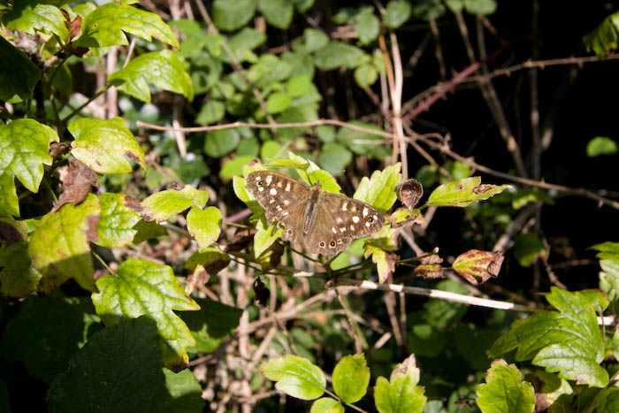 Speckled Wood Butterfly Lulworth Dorset