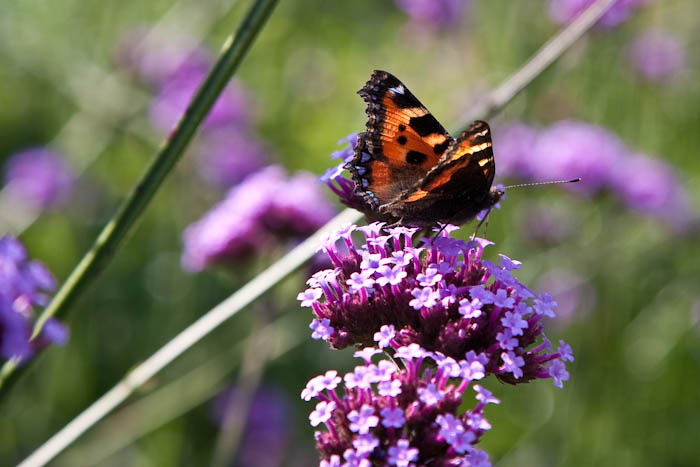 Small Tortoiseshell butterfly The Courts Holt Wiltshire Dorsetcamera